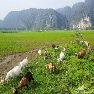 Goats in Tam Coc