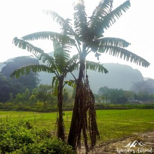Palm tree in Tam Coc