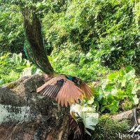 Flying peacock!