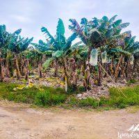 Banana trees all around