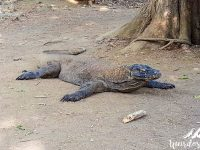 The Komodo dragon is very impressive. Komodo Island, Komodo National Park.