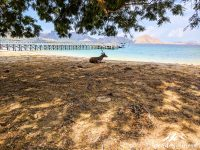 A deer is relaxing by the sea on the island of Komodo. Not an easy life with all the Komodo Dragons around.