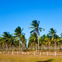 Coconut plantations!