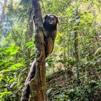 A not shy marmoset