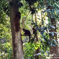 Friends! Capuchin monkeys!