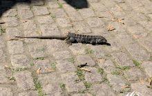 Lizard Tropidurus in Parque Lage