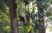 Monkeys in the trees of Parque Lage