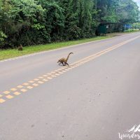 Coatis crossing